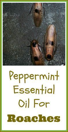 Using peppermint essential oil for roaches. This is the aromatic we use in our house to control insects and rodents. There's even some evidence showing that mint oil may be an effective non toxic roach killing solution.