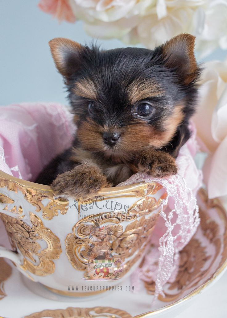 toy yorkie puppies 188 best teacup yorkies yorkie puppies images on pinterest 8962