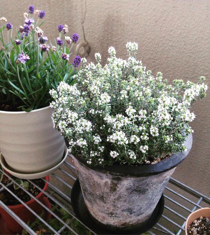 今年はオレンジバルサムタイムが満開になりました My herb orange thyme is full bloom this year!  #ハーブ #タイム #オレンジバルサムタイム  #バルコニー #ベランダ #植物 #ガーデニング #100パーセントプロジェクト #herb #thyme #bloom #balcony #gardening #spring #smallgarden #simplelife #tokyolife