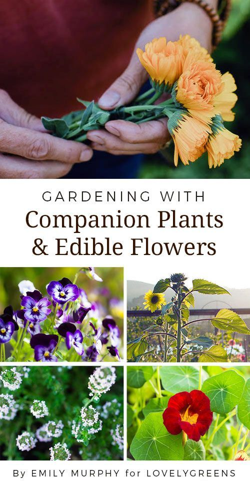 Gardening with Companion Plants & Edible Flowers #companionplanting #edibleflowers #permaculture #organicgardening #growwhatyoulove #companionplants