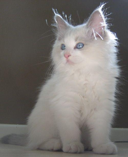 Ragdoll - I want!!!Ragdoll Cat, Beautiful Cat, Kitty Cat, Cutest Cat, Ragdoll Kittens,  Angora Rabbit, Animal Cat Kittens, Ragamuffin Kittens, Adorable Critter