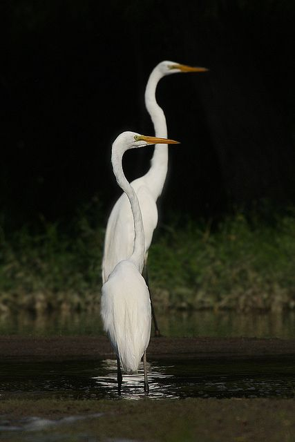 Egrets by The Shore