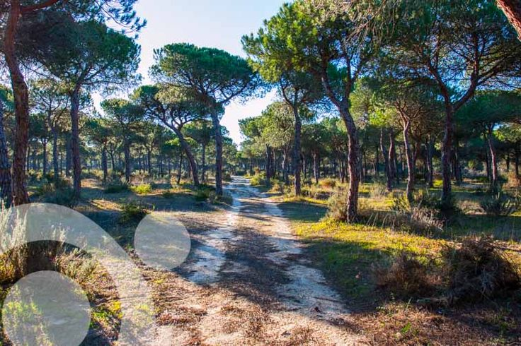 #Birding_in_Spain : Pine woods in Doñana. More information to plan your trip to #Doñana in www.qnatur.com