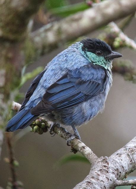 Black-capped Tanager (male).. The black-capped tanager (Tangara heinei) is a species of bird in the Thraupidae family. It is found in Colombia, Ecuador, Peru, and Venezuela. Its natural habitats are subtropical or tropical moist montane forests and heavily degraded former forest.