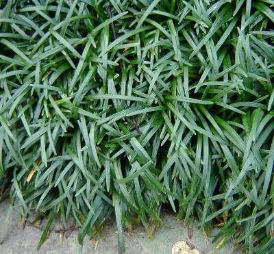 ophiopogon japonicus - Grama-Preta - Na verdade não é uma grama. Muito usada como cobertura vegetal para áreas de sombra parcial ou onde não há possibilididade de gramados. Pode ser encontrada na altura de 5, 10 e 15 cm, resiste à seca e à sombra, mas não deve ficar exposta a pisoteio.
