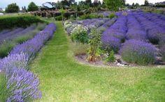 Okanagan Lavender & Herb Farm, Kelowna, BC