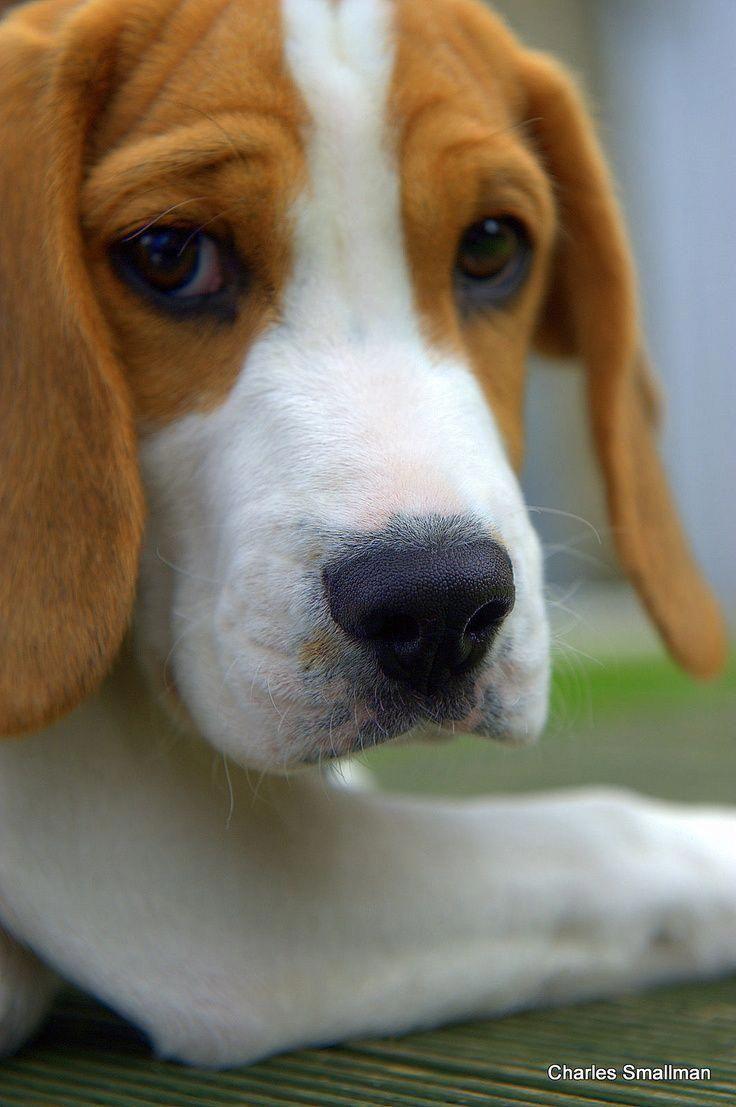 Beagle Puppy Beagle Beagle Puppy Beagle Dog Beagle