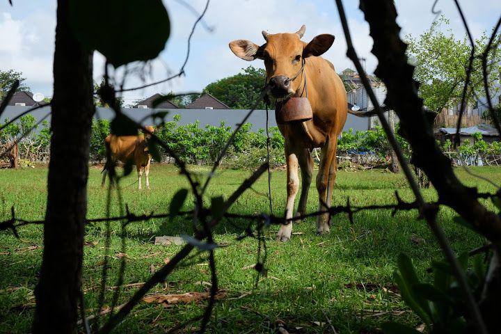 cows - Padang Area, Bali, Indonesia