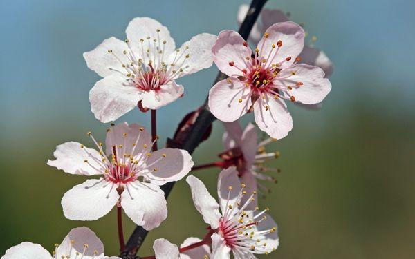 cherry blossoms Cherry Blossom