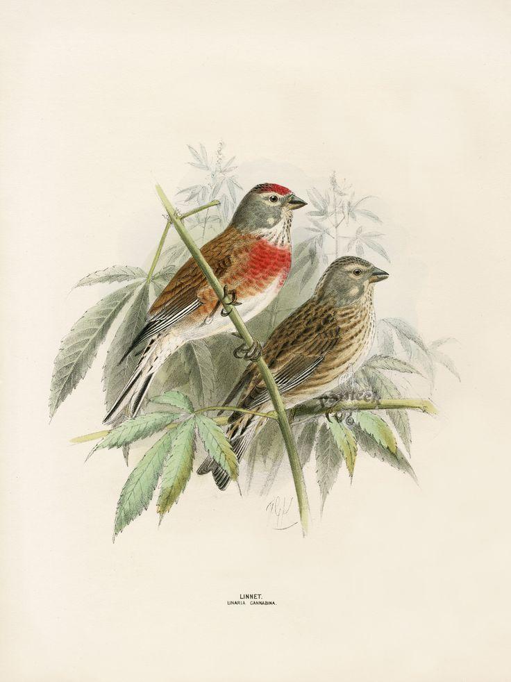Dresser's Birds of Europe 1871-1896