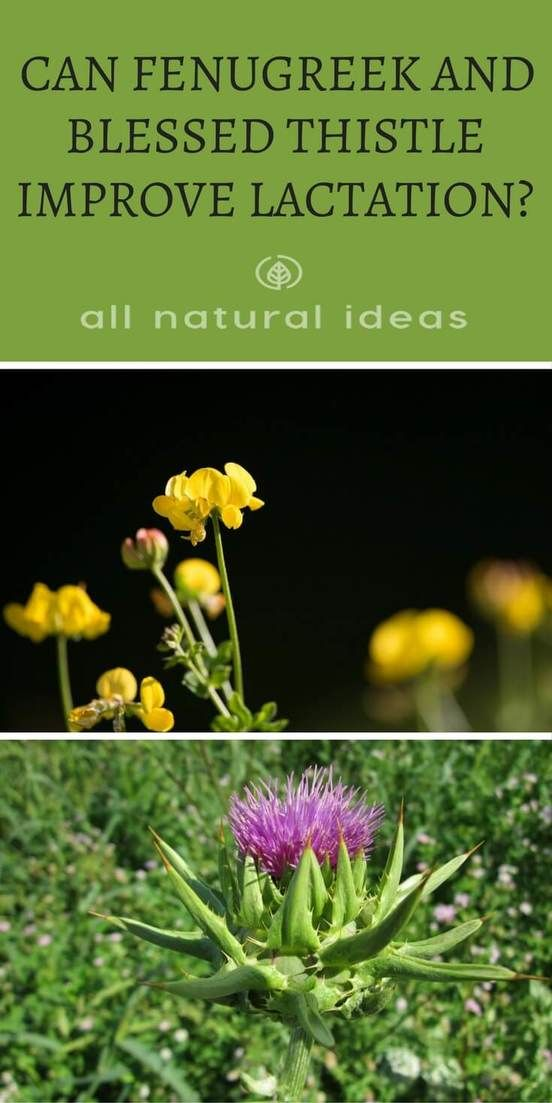 Fenugreek and blessed thistle are plants that may help with lactation for breastfeeding moms. But don't confuse blessed thistle with milk thistle. via @allnaturalideas