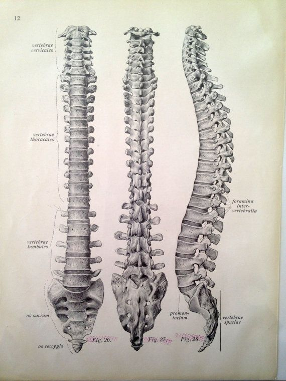 Vintage Anatomy Print - Antique Vertebrae Drawing via Etsy