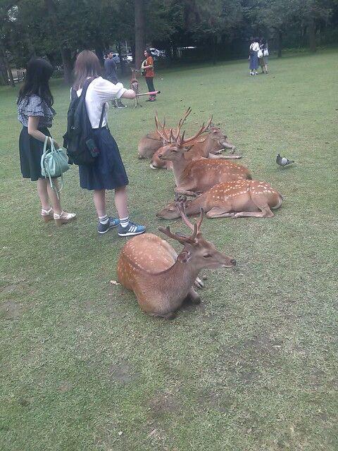 #nara #narapark #deer #奈良 #奈良公園 #鹿 さん やる気無し
