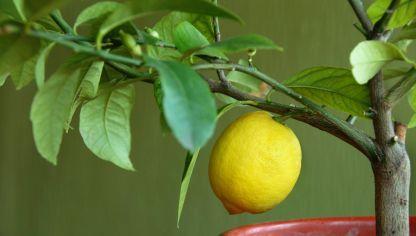 Plantar un limonero