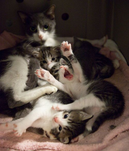 maine coon kittens for sale ny