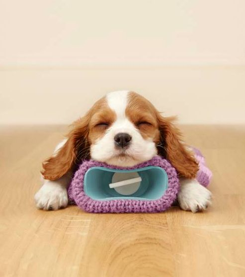 Cavalier King Charles Spaniel puppies get on great with the whole family and other dogs! More at Hanwell Pet Store.