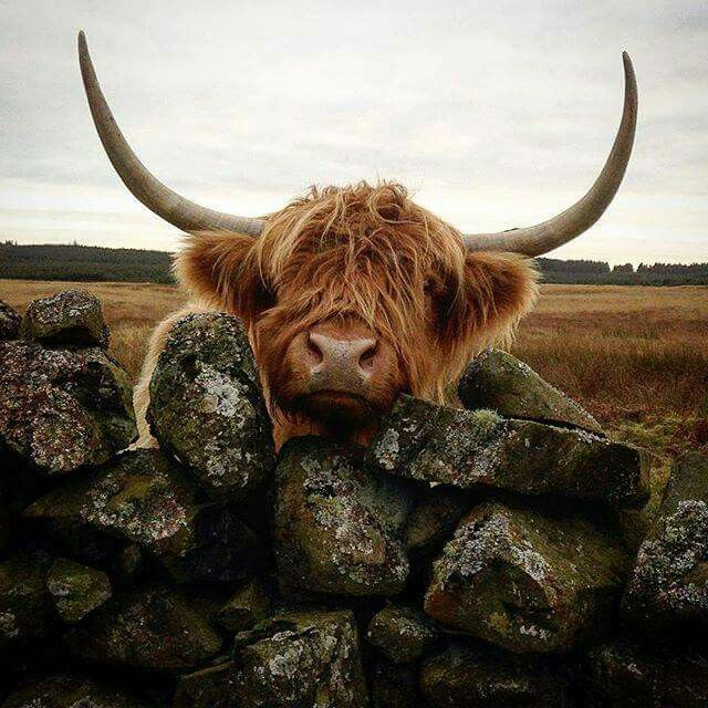 I loved these Highland Cows!