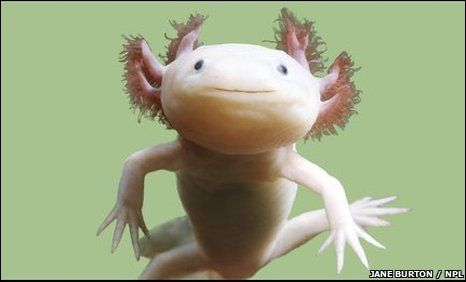 The amphibian that never grew up is on the verge of going extinct in the wild.  New survey work suggests that fewer than 1,200 Mexican axolotls remain in its last stronghold, the Xochimilco area of central Mexico.  The axolotl is a type of salamander that uniquely spends its whole life in its larval form.Axolotl Salamander, Animal Right, Real Life, Sea Creatures, Amazing Creatures, Strange Creatures, Animal Obsession, Adorable Animal, Albino Axolotl