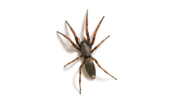 White-tailed spiders (Lampona cylindrata and L. murina) 10 most dangerous spiders in Australia