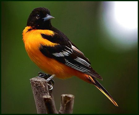 Baltimore Oriole - Baltimore Oriole, bird, black, sunshine, twig, white, yellow