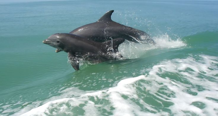 Learning how to surf is very important for young Mandurah dolphins. This one was born in May 2009.