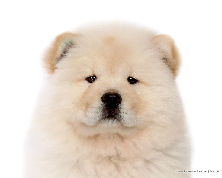 Chow chow puppies are fluffy and adorable at the age of 8 weeks, and shows signs of becoming strong and independent in the coming…