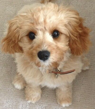 Cavoodle Dog Breeds Medium Cute Dogs Breeds Dog Breeds