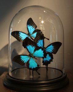 Taxidermy: 3 Opgezette BlauweVlinders In Glazen StolpDeze glazen stolp is gevuld met 3 Ulysses Ulysses uit de Papilio familie.Afmetingen Glazen Stolp Met Opgezette Vlinders: ca.28 cm hoog x 22 c...