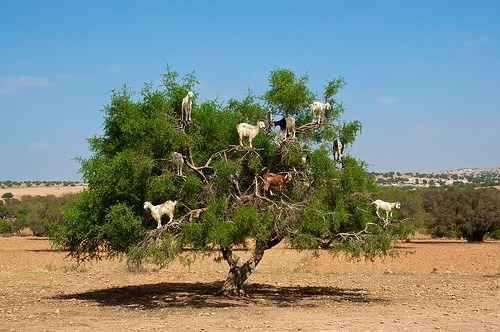 Argan Ağacı, keçilerin sevgilisi -    Demir odunlu ağaç olarak bilinen argan ağacının meyvesi keçiler tarafından çok sevildiği için en üst dalarına kadar tırmanırlar.....