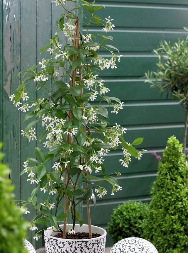 best 25 jasmine plant ideas on pinterest jasmine plant. Black Bedroom Furniture Sets. Home Design Ideas