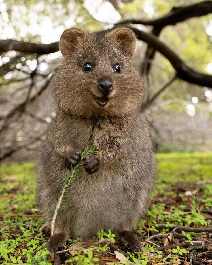 Quokka The Quokka A Small Kangaroo Native To We Australia Kangaroo Native Quokka Small Western Cute Animals Australia Animals Animals Beautiful