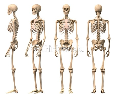 14 best human skeleton images on pinterest | human skeleton, human, Skeleton
