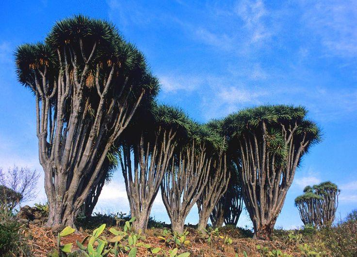 Las Tricias-Buracas. La ruta de los dragos. La Palma. Islas Canarias