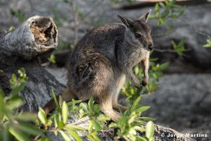 Rock Wallabi, Granite Gorge, Tropical North Queensland, Wildlife Photography, yourtrails.com.au