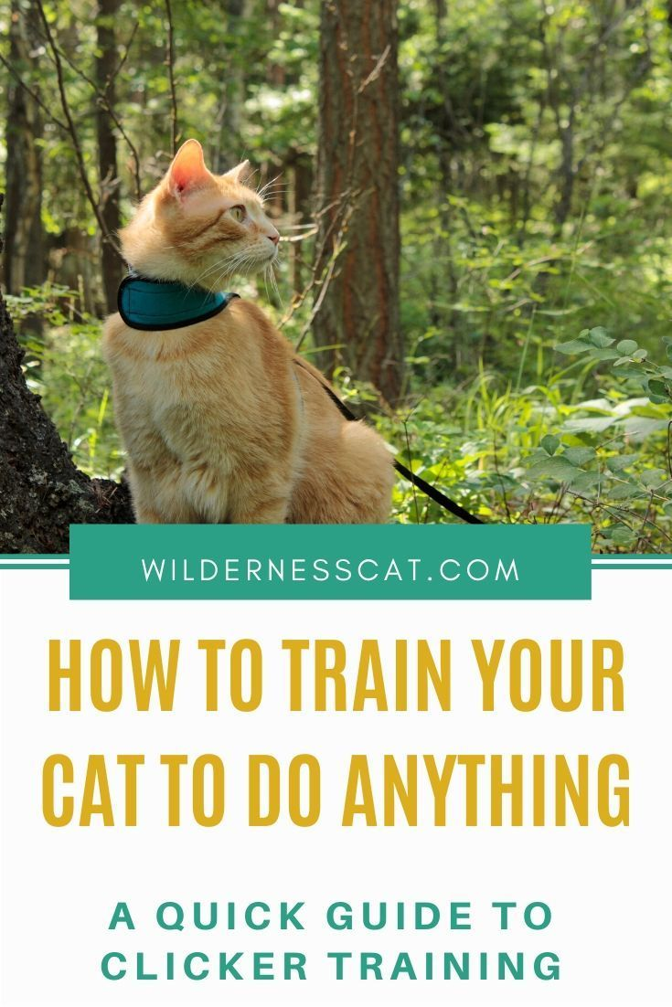 A Quick Guide To Clicker Training Your Cat Wildernesscat In 2020 Cat Training Cats Cat Care