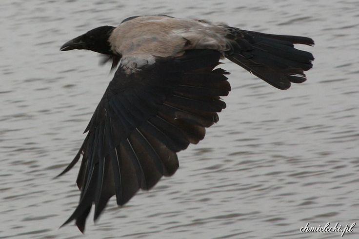 Wrona siwa (Corvus cornix)