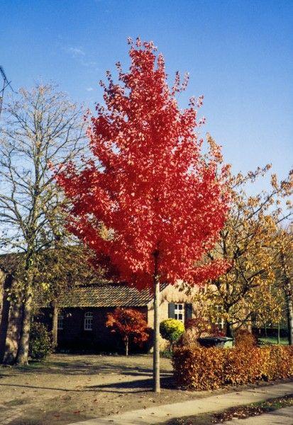 Acer rubrum  'Red Sunset'