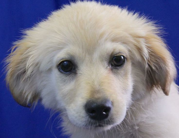 Adopt Flossie 45211 On Petfinder Dogs Golden Retriever Dogs Golden Retriever