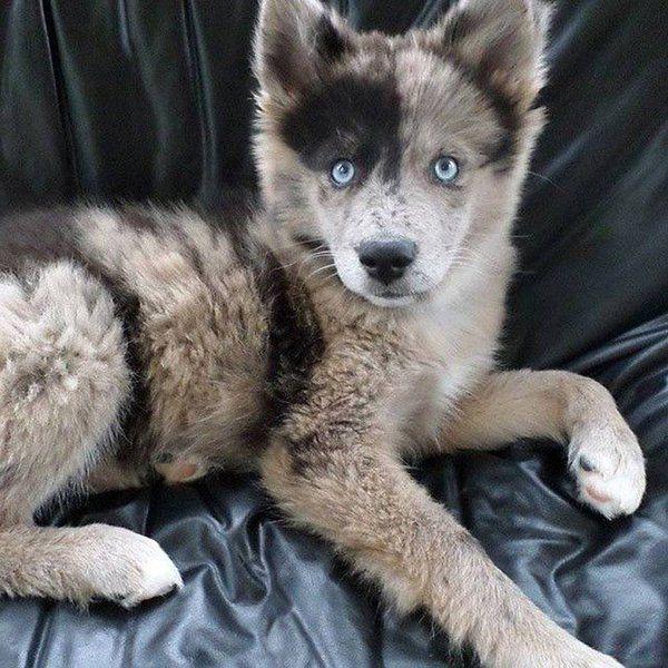 Blue eyed Australian Shepherd and Husky mix