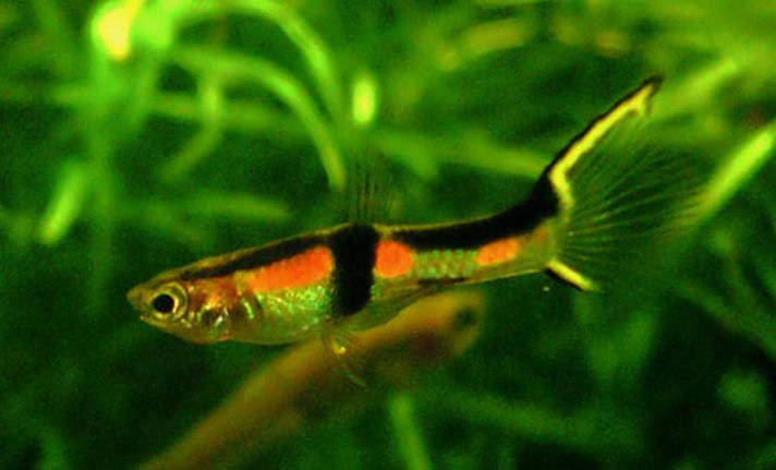 The Big 4 Easy To Breed Livebearers:https://www.petcha.com/the-big-4-easy-to-breed-livebearers/