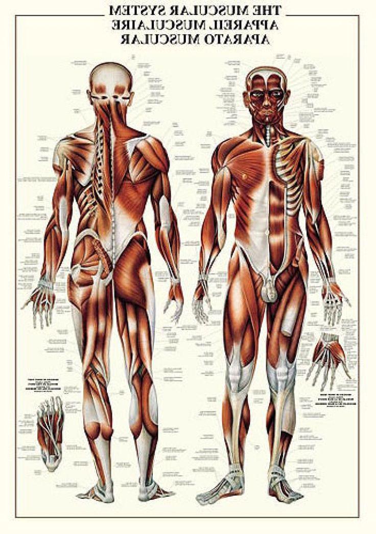 best 25+ human muscular system ideas on pinterest | muscular, Muscles
