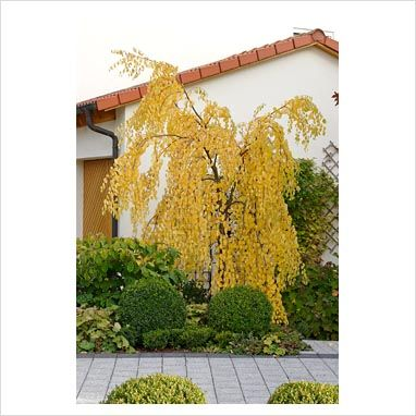 japanese the lilac decorative treelilac decor yard for ornamental most trees tree beautiful homesource your