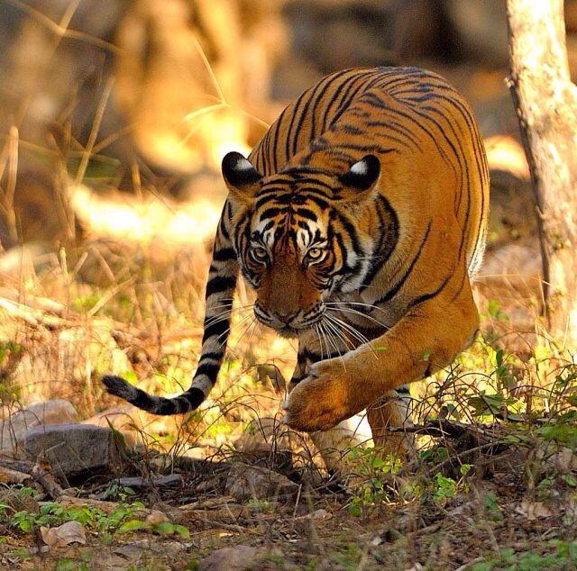호랑이  #사이버동물원