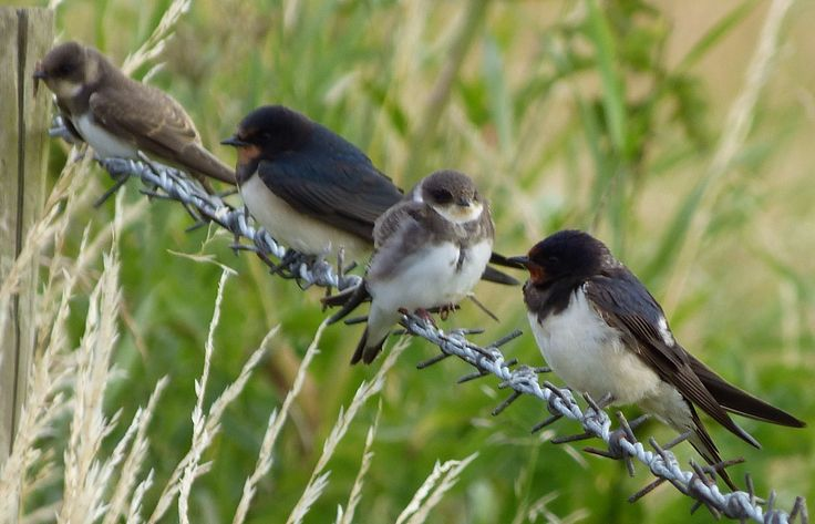 Barn Swallows with young Sand Martins, Lytham St.Annes