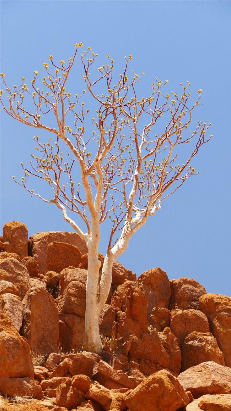 Chestnuts #trees of the #desert #namibia #travel