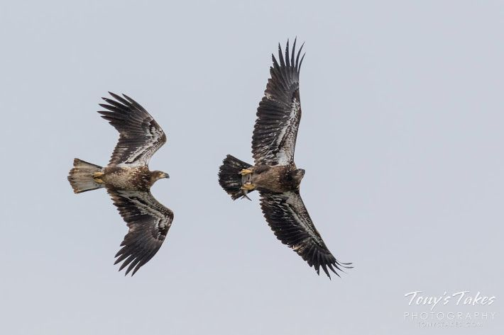 A juvenile Bald Eagle chases another in the hopes of stealing its fish.  (© Tony's Takes)