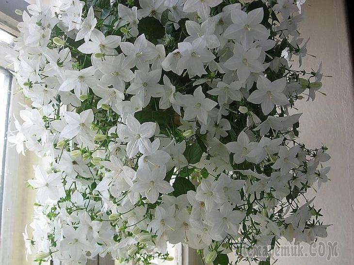 Кампанула - одно из самых нежных комнатных растений, относится к семейству колокольчиковых. В мире насчитывается более 100 видов Кампанулы. Родиной растения считается Юг Европы. Цветы Кампанулы состоя...