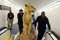 Dec. 10, 2008: From left, Darryl Riley, Duane Thomas, and Howard McKinney, move an African lion killed during a hunt in Zimbabwe by Rep. Paul Broun, R-Ga., to his Cannon building office.