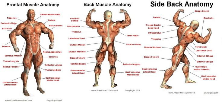 breaking down the muscle groups of the body. | bodybuilding, Human Body