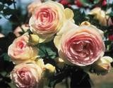 Roses that will grow in partial shade.  This is one of them -   Rose Eden Climber™ 'Meiviolin'